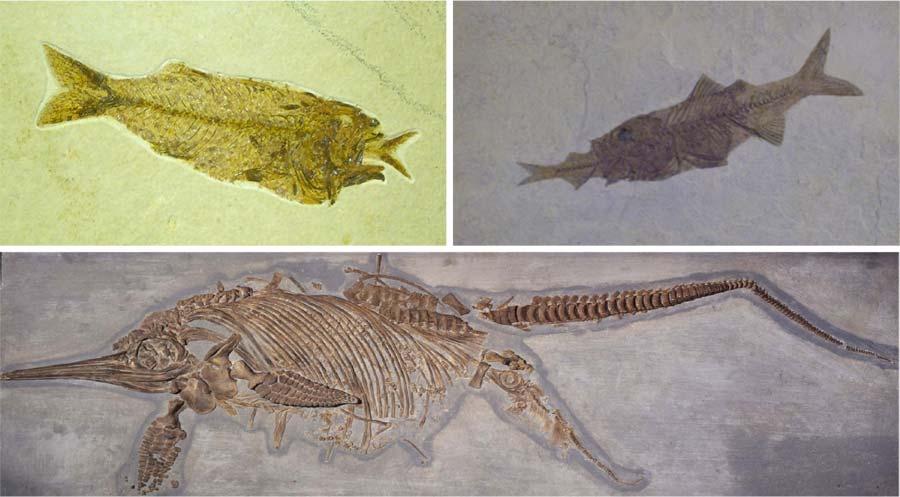 Figura 12 – Fósseis de peixes (última refeição não concluída) e um ictiossauro fêmea (filhote acaba de nascer): evidências de morte súbita e rápido soterramento